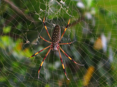 Паук ткач Golden Orb