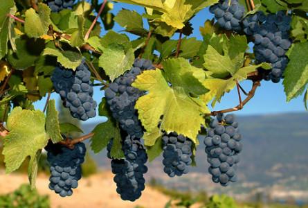 Ресвератрол- самый известный после алкоголя компонент вина