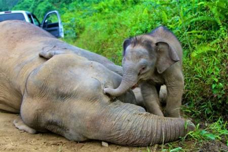 Слоненок рядом с умершой слонихой