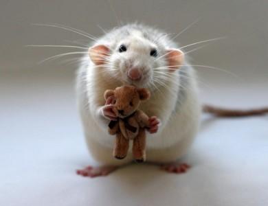 У крыс обнаружена рабочая память