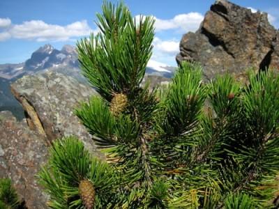 Землю защищают от перегрева хвойные смолы