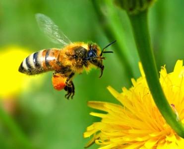 Успех новой семьи у пчёл будет зависеть от генов рабочей касты