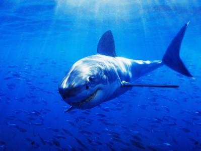 Период жизни белых акул больше, чем считалось раньше