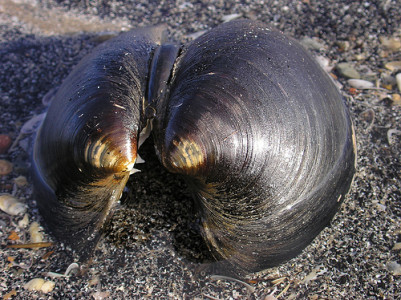 Моллюск Arctica islandica