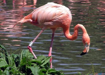 Самого старого в мире розового фламинго усыпили