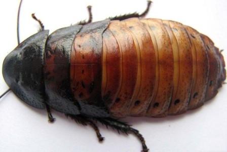 Тараканы - санитары