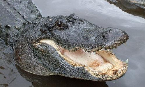 Зубастая улыбка аллигатора