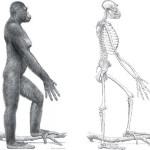 Древний предок человека Арди имел череп, пригодный для гоминида
