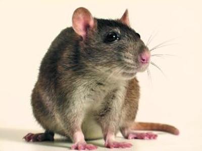 аутизм у мышей