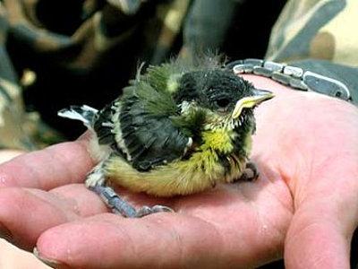 Чернобыльская птица