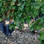 Итальянцы преподавали французам виноделие