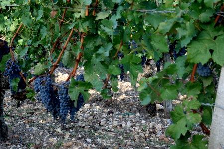 Французский виноград