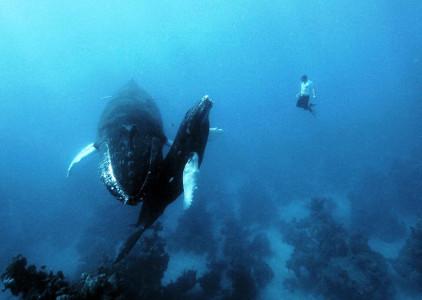 В горбатых китах есть основные признаки культуры