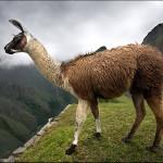 Синтетические антитела ламы уменьшат боль при артрите
