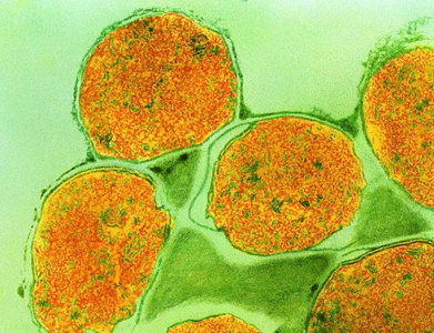 Бактерия проказы