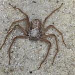 Самые опасные насекомые мира. Шестиглазый песочный паук и Иорданский скорпион.