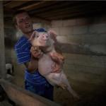 Свинья поможет человеку