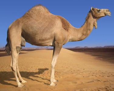 Предки верблюдов